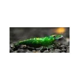 Caridina cantonensis var green jade  (m) 1.5 cm taiwan