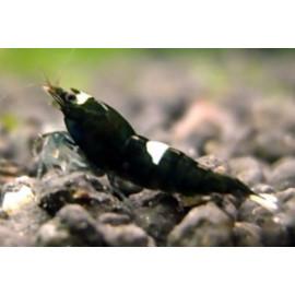 Caridina cantonensis var. black king kong  (m) 1.5 cm taiwan bee