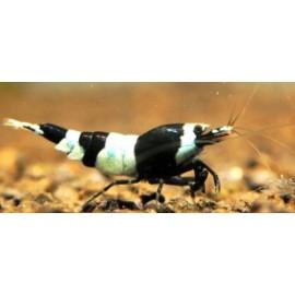 Caridina cantonensis var. black panda  (m) 1.5 cm taiwan bee