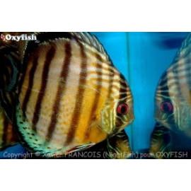 Symphysodon aequifasciatus discus vert sauvage (l) 12-15 cm