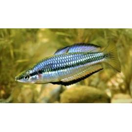Melanotaenia nigrans poisson arc en ciel (m) 5-6 cm