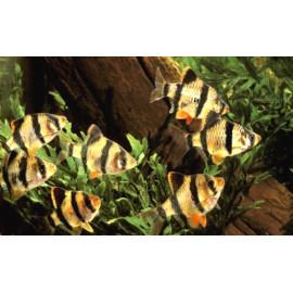 Barbus tigre (ms) 2.75 cm capoeta tetrazona