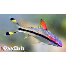 Puntius Denisoni --  Barbus Torpedo 4-5 cm