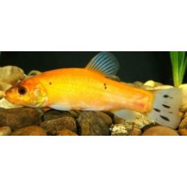 Tanche jaune doree tinca tinca 20-25 cm poisson d'or