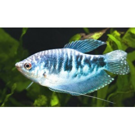 Gourami bleu opaline (m) 5.00 cm trichogaster tricopterus
