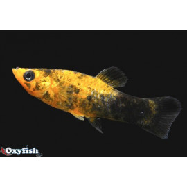 Molly poussiere d'or gold dust (m) 4.5 cm poecilia sphenops