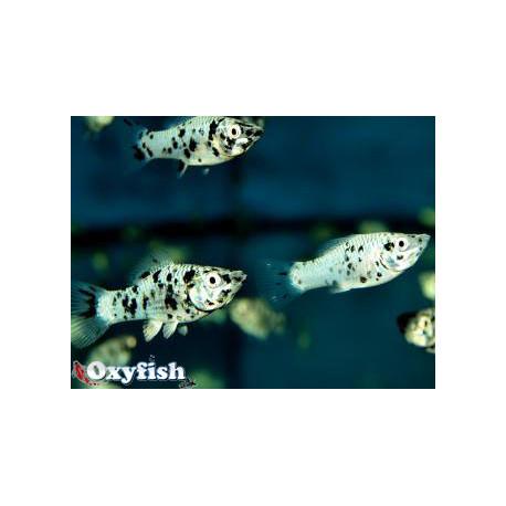 Molly marbre argente dalmatien 4.5 cm Poecilia sphenops