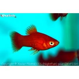 Platy rouge (m) 3.00 cm xiphophorus maculatus