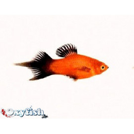 Platy rouge wagtail pinceau (m) 3.50 cm xiphophorus maculatus