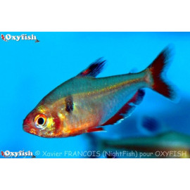 Hyphessobrycon Serpae Tetra Serpae 3.00 cm