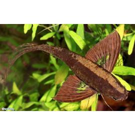 Pantodon Buchholzi 5 - 7 cm