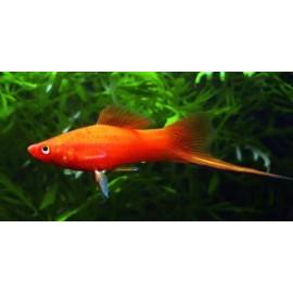 Xipho rouge (m) 5 cm xiphophorus helleri