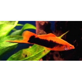 Xipho rouge tuxedo (m) 5 cm xiphophorus helleri