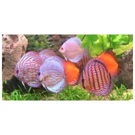 Discus Symphysodon Aequifaciatus 8.00 cm