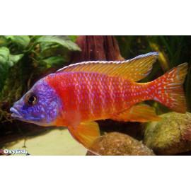 Aulonocara sp.red (m) 3-3.5 cm