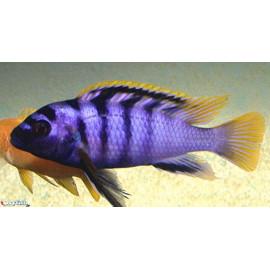 Labidochromis Sp. Red Top Mbamba 4.00 cm