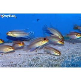 Pelvicachromis taeniatus kienke (m) 4-5 cm