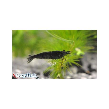 Neocaridina Heteropoda Black  Cherry 1.5 cm