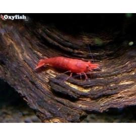 Neocaridina heteropoda red fire crevette rouge feu (m) 1.5 cm