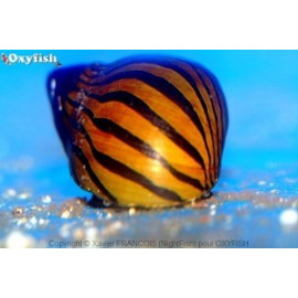 Neritina species escargot tigre (m) 1.5-2 cm