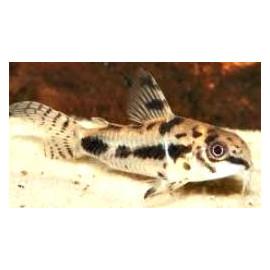 Corydoras Habrosus Elevage  2.00 cm