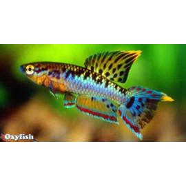 Aphyosemion bivittatum (m) 2 - 3 cm