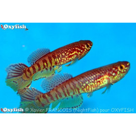 Aphyosemion Sjoestedti 4-5 cm
