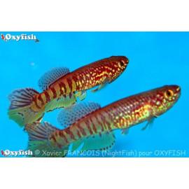 Aphyosemion Fundulopanchax Sjoestedti 4.00 cm