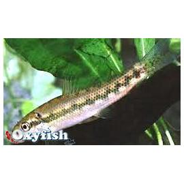 Gyrinocheilus Aymonieri Mangeur d'algues 4.00 cm