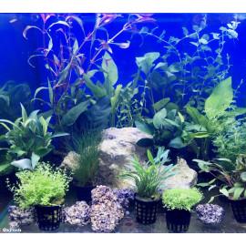 Assortiment de 15 plantes pour aquarium de 100 litres