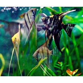 PROMO LOT DE 5 Pterophyllum scalare  4-4.5 cm (couleurs assorties)