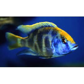 PROMO LOT DE 3 Nimbochromis venustus (m) 4-5 cm