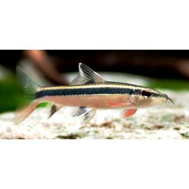 Epalzeorhynchus Kalopterus 7.00 cm