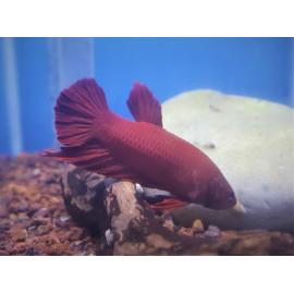 Betta Plakat Rouge combattant mâle  4-5.5 cm
