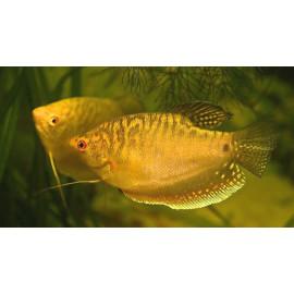 Gourami dore 5 cm trichogaster tricopterus