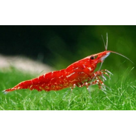 Neocaridina heteropoda  red  crevette cherry 1.5 cm