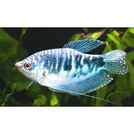 Gourami bleu opaline (ml) 6.00 cm trichogaster tricopterus