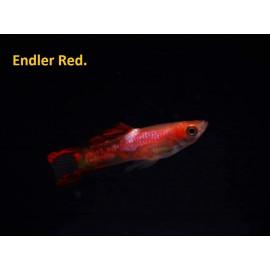 Guppy male endler rouge (l) 2.5 cm poecilia wingei