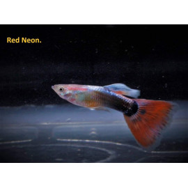 Guppy male neon rouge (ml) 3.5 cm poecilia reticulata