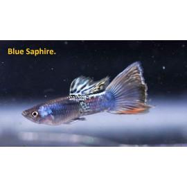 Guppy male bleu saphir (l) 4.00 cm poecilia reticulata