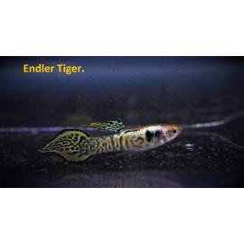 Guppy male endler tiger (l) 2.5 cm poecilia wingei