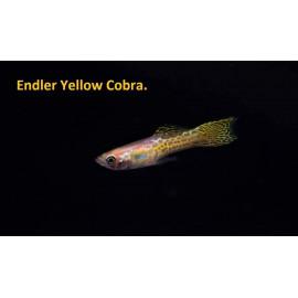 Guppy male endler yellow cobra (l) 2.5 cm poecilia wingei