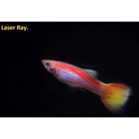 Guppy male rayon laser  (ml) 3.5 cm poecilia reticulata