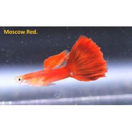 Guppy male rouge moscou (ml) 3.5 cm poecilia reticulata