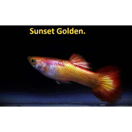 Guppy male sunset golden (ml) 3.5 cm poecilia reticulata