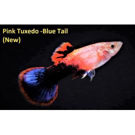 Poecilia reticulata guppy pink luminous tuxedo (ml) 3.5 cm