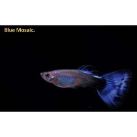 Guppy male bleu mosaique (ml) 3.5 cm poecilia reticulata