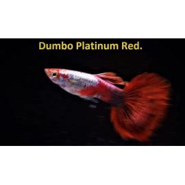 Guppy male dumbo platinium red (l) 4.00 cm poecilia reticulata