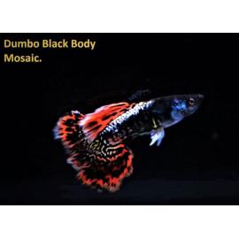 Guppy male dumbo black body mosaic (l) 4.00 cm poecilia reticulata