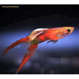 Guppy male rouge double epee (ml) 3.5 cm poecilia reticulata